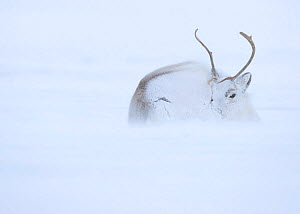 Reindeer (Rangifer tarandus) hunkering down in snow during blizzard. Svalbard, Norway, April.  -  Danny Green