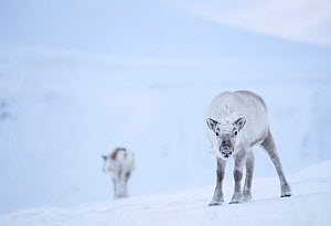 Reindeer (Rangifer tarandus) standing on ridge in snow, another reindeer in background. Svalbard, Norway, April. - Danny Green