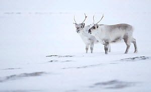 Reindeer (Rangifer tarandus), two standing on ridge in snow. Svalbard, Norway, April.  -  Danny Green