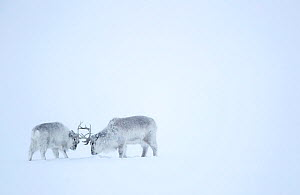 Reindeer (Rangifer tarandus), two play fighting in snow. Svalbard, Norway, April.  -  Danny Green
