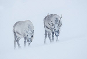 Reindeer (Rangifer tarandus), two standing on ridge in blizzard. Svalbard, Norway. April.  -  Danny Green