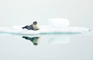 Ringed seal (Pusa hispida) resting on ice, reflected in water. Svalbard, Norway. July. - Danny Green