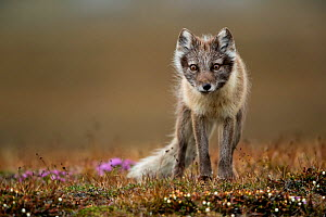 Arctic fox (Alopex lagopus) standing in tundra. Svalbard, Norway, July.  -  Danny Green
