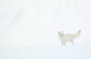 Arctic fox (Alopex lagopus) in snow. Svalbard, Norway. April. - Danny Green