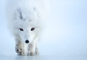 Arctic fox (Alopex lagopus) camouflaged in winter pelage. Svalbard, Norway, April.  -  Danny Green