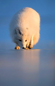 Arctic fox (Alopex lagopus) following scent, in winter pelage. Svalbard, Norway. April. - Danny Green