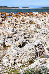Thrombolites and stromatolites, layered mounds of sedimentary rock originally formed from the growth of layers of cyanobacteria. On shore of Lago Sarmiento, Torres del Paine National Park, Patagonia,... - Nick Garbutt