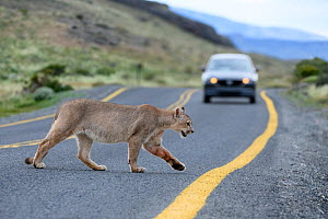 Puma (Puma concolor puma), young male crossing road in front of car. Estancia Amarga, near Torres del Paine National Park, Patagonia, Chile. December 2018. - Nick Garbutt