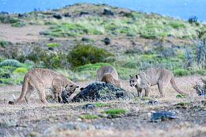 Puma (Puma concolor puma), three sub-adult cubs aged 12 to 13 months attempting to dig Armadillo out of burrow. Estancia Amarga, near Torres del Paine National Park, Patagonia, Chile. December. - Nick Garbutt
