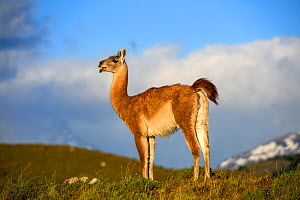 Guanaco (Lama guanicoe) standing with mountains in distance. Torres del Paine National Park, Patagonia, Chile. December 2018. - Nick Garbutt