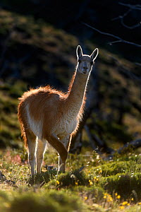Guanaco (Lama guanicoe) standing on hillside, backlit. Torres del Paine National Park, Patagonia, Chile. December. - Nick Garbutt