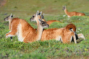 Guanacos (Lama guanicoe), two males fighting. Torres del Paine National Park, Patagonia, Chile. December. - Nick Garbutt
