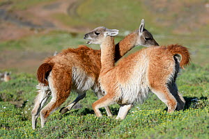 Guanacos (Lama guanicoe), two males fighting, trying to over power opponent and bite each others testicles. Torres del Paine National Park, Patagonia, Chile. December. - Nick Garbutt
