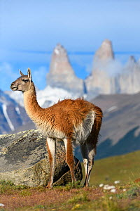Guanaco (Lama guanicoe) standing, towers of Torres del Paine National Park in background. Patagonia, Chile. December 2018. - Nick Garbutt