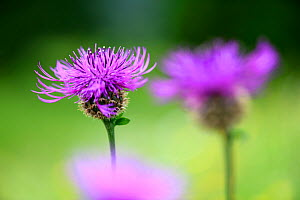 Common knapweed (Centaurea nigra), close up. North Tyrol, Austria, June.  -  Nick Garbutt