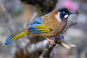 Black-faced laughing thrush (Garrulax affinis) perched on branch. Singalila National Park, India. March.  -  Nick Garbutt