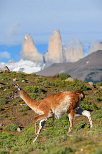 Guanaco (Lama guanicoe) running downhill, towers of Torres del Paine National Park in background. Patagonia, Chile. December 2018. - Nick Garbutt