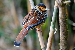 Spotted laughing thrush (Garrulax ocellatus) perched on Bamboo, Singalila National Park, India.  -  Nick Garbutt