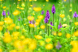 Fragrant orchids (Gymnadenia conopsea) amongst wildflowers in ancient alpine meadow. North Tyrol, Austria. June.  -  Nick Garbutt
