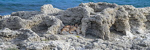 Puma (Puma concolor puma) female with sub-adult cubs aged 12 to 13 months, resting amongst thrombolites and stromatolites on shore of Laguna Sarmiento. Estancia Amarga, near Torres del Paine National... - Nick Garbutt