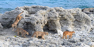 Puma (Puma concolor puma) female with sub-adult cubs aged 12 to 13 months, walking amongst thrombolites and stromatolites on shore of Laguna Sarmiento. Estancia Amarga, near Torres del Paine National... - Nick Garbutt