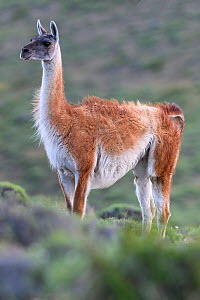 Guanaco (Lama guanicoe) female, alert, looking at Puma (Puma concolor) on on opposite slope. Torres del Paine National Park, Patagonia, Chile. November. - Nick Garbutt
