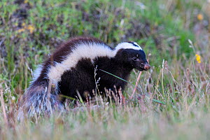 Humboldt's hog-nosed skunk (Conepatus humboldtii). Torres del Paine National Park, Patagonia, Chile. November.  -  Nick Garbutt