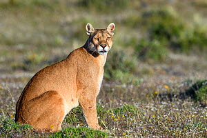 Puma (Puma concolor puma), female sitting in grassland. Estancia Amarga, near Torres del Paine National Park, Patagonia, Chile. November. - Nick Garbutt