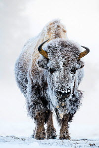 American bison (Bison bison) female covered in hoar frost near hot spring, portrait. Midway Geyser Basin, Yellowstone National Park, USA. February. - Nick Garbutt