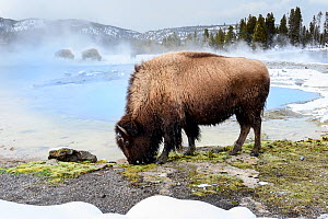 American bison (Bison bison) female grazing near thermal pool, snow on ground. Biscuit Geyser Basin, Yellowstone National Park, USA. February 2019.  -  Nick Garbutt