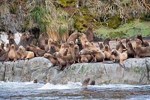 South American sea lion (Otaria flavescens) rookery on coastal rocks. Straits of Magellan, Patagonia, Chile. December.  -  Nick Garbutt