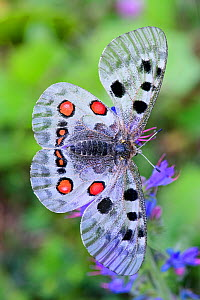Apollo butterfly (Parnassius apollo). North Tyrol, Austria. June. Focus stacked image.  -  Nick Garbutt