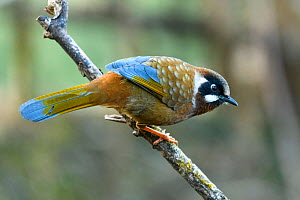 Black-faced laughing thrush (Garrulax affinis) perched on branch. Singalila National Park, India.  -  Nick Garbutt