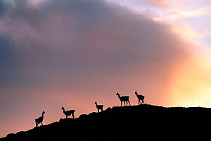 Guanacos (Lama guanicoe), five silhouetted on slope in evening. Torres del Paine National Park, Patagonia, Chile. December. - Nick Garbutt