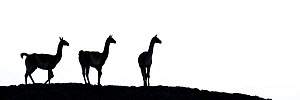 Guanaco (Lama guanicoe) three silhouetted. Torres del Paine National Park, Patagonia, Chile. December. - Nick Garbutt
