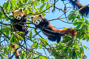 Western red panda (Ailurus fulgens fulgens), two juveniles looking down whilst climbing in tree. Singalila National Park, India / Nepal border.  -  Nick Garbutt
