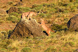 Puma (Puma concolor puma), two sub-adults aged 12 to 13 months playing on rock. Estancia Amarga, near Torres del Paine National Park, Patagonia, Chile. December. - Nick Garbutt