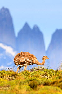 Darwin's rhea (Pterocnemia pennata) with tower peaks in background. Torres del Paine National Park, Patagonia, Chile. December.  -  Nick Garbutt
