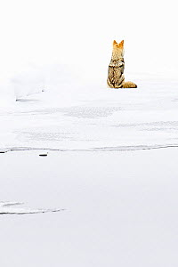 Coyote (Canis latrans) sitting on ice, looking away. Madison Valley, Yellowstone National Park, USA. February.  -  Nick Garbutt