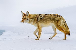 Coyote (Canis latrans) walking on ice. Madison Valley, Yellowstone National Park, USA. February.  -  Nick Garbutt
