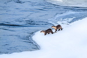 North American river otter (Lutra canadiensis), two standing at edge of frozen Upper Yellowstone River, Hayden Valley, Yellowstone, USA. February.  -  Nick Garbutt