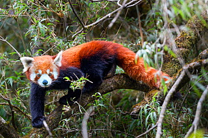 Western red panda (Ailurus fulgens fulgens) climbing in Bamboo forest. Singalila National Park, India / Nepal border.  -  Nick Garbutt