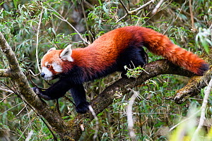Western red panda (Ailurus fulgens fulgens) climbing in understorey of Bamboo forest. Singalila National Park, India / Nepal border.  -  Nick Garbutt
