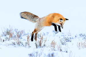 Red fox (Vulpes vulpes) in mid air, snow diving / pouncing whilst hunting for rodents. Hayden Valley, Yellowstone National Park, USA. February.  -  Nick Garbutt