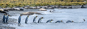 King penguin (Aptenodytes patagonicus) group following each other in line, returning to sea, Southern elephant seal (Mirounga leonina) colony in background. St Andrews Bay, South Georgia. November 201...  -  Nick Garbutt