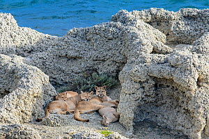 Puma (Puma concolor puma) female with sub-adult cubs aged 12 to 13 months, lying amongst thrombolites and stromatolites on shore of Laguna Sarmiento, near Torres del Paine National Park, Patagonia, Ch... - Nick Garbutt
