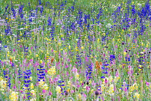 Alpine Wildflower meadow, a diversity of species including Meadow clary (Salvia pratensis), Sainfoin (Onobrychis sp) and Rattle (Rhinanthus sp). North Tyrol, Austria. June.  -  Nick Garbutt