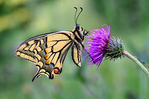 Swallowtail butterfly (Papilio machaon) resting on Thistle (Cirsium sp). North Tyrol, Austria. June.  -  Nick Garbutt