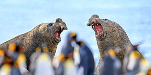Southern elephant seal (Mirounga leonina), two males, equally matched with mouths open in aggression. Out of focus King penguin (Aptenodytes patagonicus) colony in background. Gold Harbour, South Geor...  -  Nick Garbutt