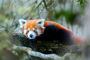 RF - Western red panda (Ailurus fulgens fulgens) resting on branch, Singalila National Park, India / Nepal border. (This image may be licensed either as rights managed or royalty free.)  -  Nick Garbutt